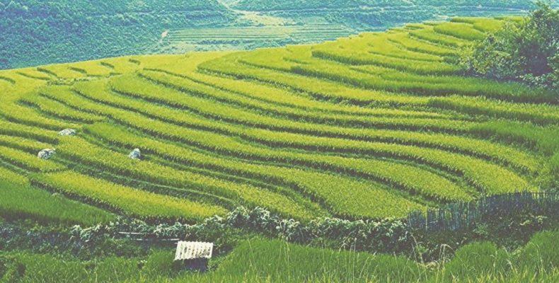 une rizière auu vietnam Saison 2017-2018